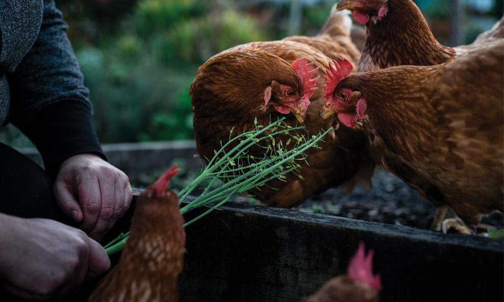 Roz Holland feeding rescue hens in the garden